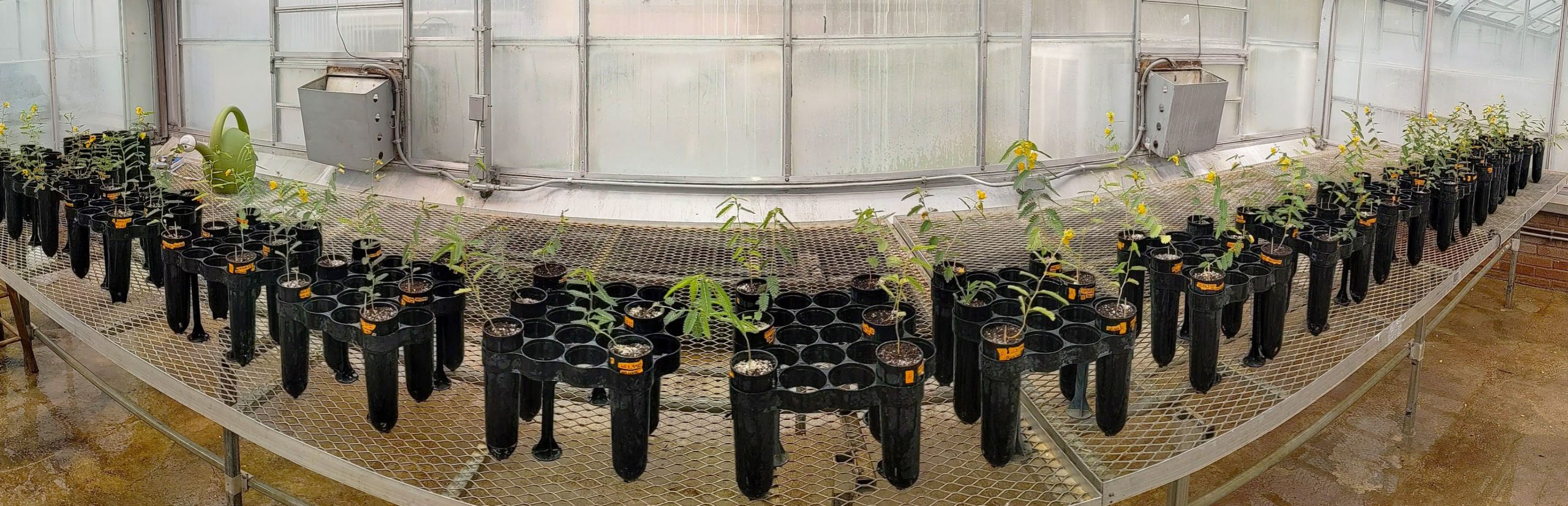 Panorama photo of plants in black plastic pots sitting on a table inside a greenhouse, that are part of Borges's research.