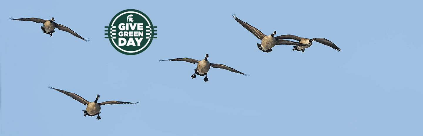 Flying Canada Geese come in for a landing against a clear blue sky. Photo credit: Ray Van Loo Jr.