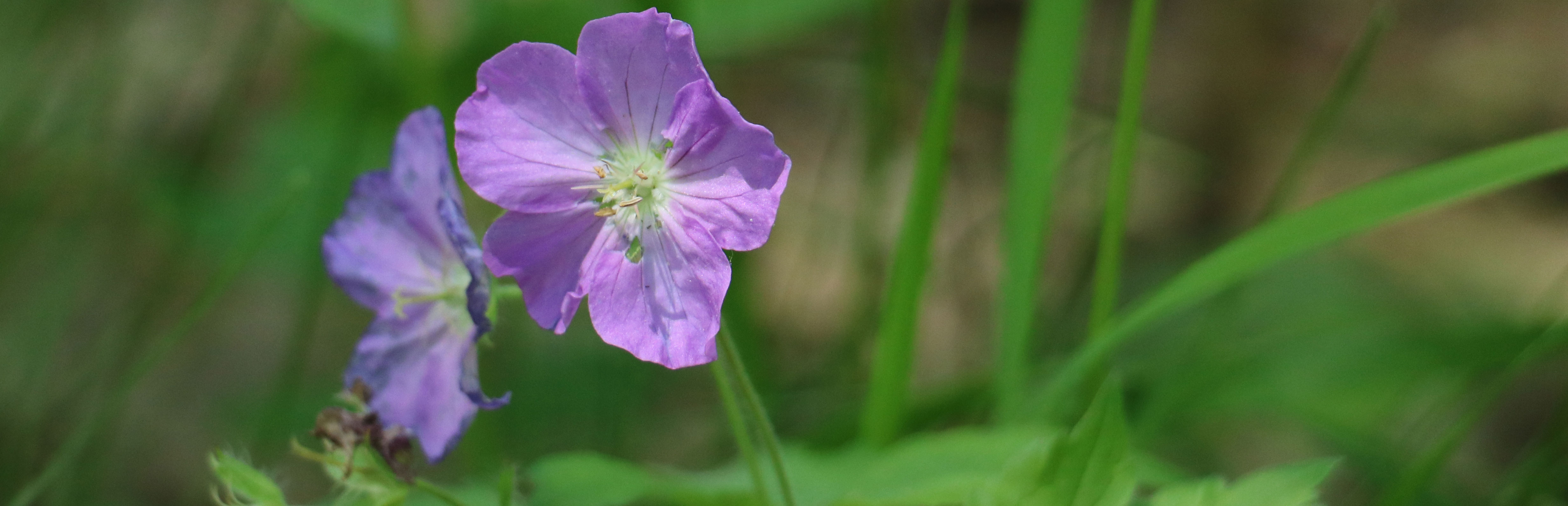 A close-up look at the blooms of a wild geranium, Geranium maculatum.