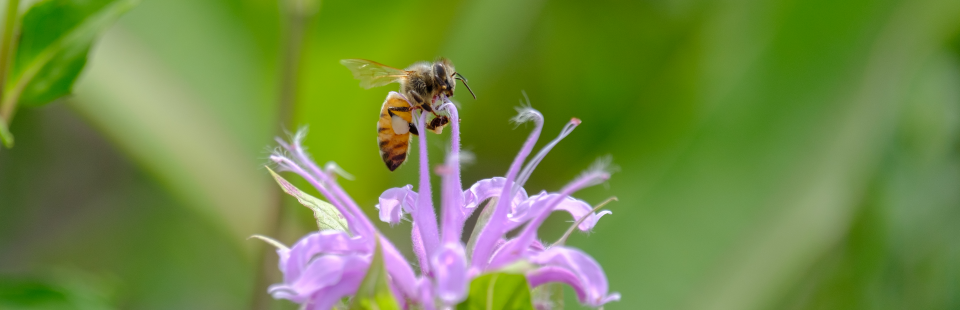 honeybee-monarda-homepageslide