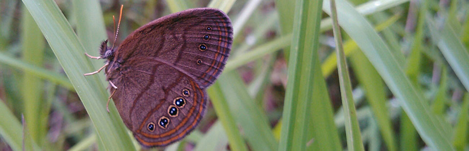An imperiled St. Francis' Satyr butterfly perches on a blade of grass.