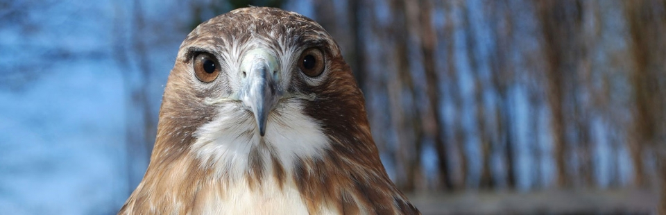 Close-up photo of the head of a red-tailed hawk.