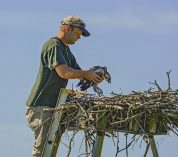 Osprey Chicks Banded at Lux Arbor Reserve
