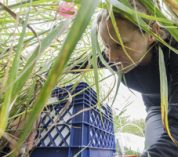 Undergraduate researchers learn about sustainable biofuels