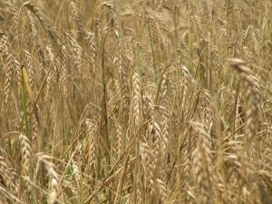 Photo of barley grown at Kellogg Farm