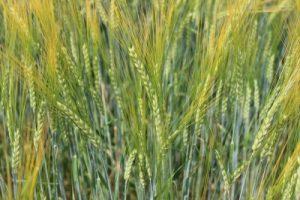 Barley grown at KBS