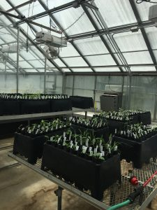 Walus' greenhouse experiment