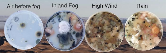 Petri dish samples of microbes from the Namib