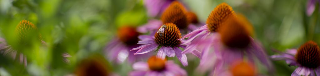 A bee rests on a coneflower in the Sanctuary's pollinator garden