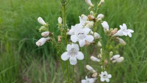 Penstemon hirsutus (Hairy beardtongue, extinct in Kalamazoo)