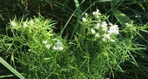 Pycnanthemum tenuifolium (Narrowleaf mountain mint, extinct in Kalamazoo)