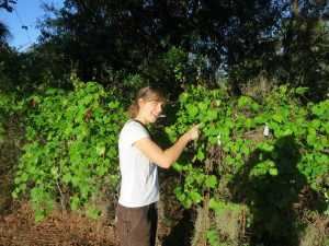 MSU Scientist Marjorie Weber with wild grape plants