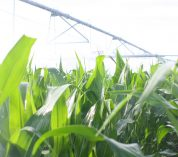 Irrigated corn at KBS Long Term Ecological Research site