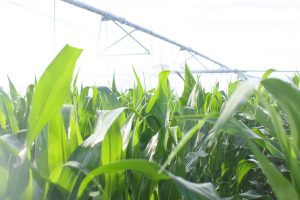 Irrigated corn at KBS Long-Term Ecological Research site