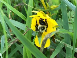 Bumblebee searching for pollen in our research plot
