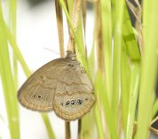 newly emerged St. Francis' Satyr butterfly rests on a sedge.