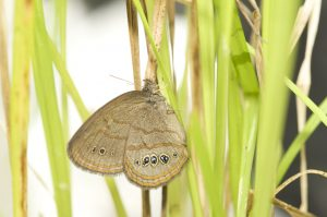 A newly emerged St. Francis' Satyr butterfly rests on a sedge.