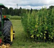 A man in a tractor surveys a plot of industrial hemp.