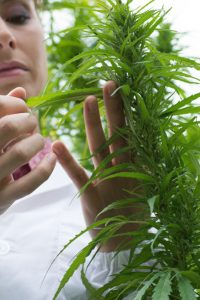 A woman examines the leaves of a hemp plant in a laboratory.