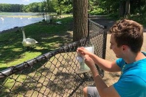 Tom Charney kneels at a fence at the Kellogg Bird Sanctuary and observes a trumpeter swan.