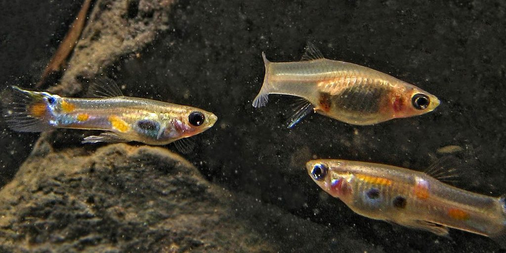 Three wild Trinidadian guppies swim underwater.