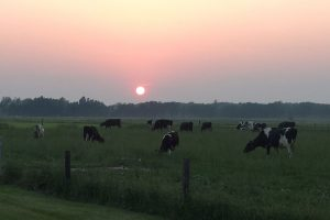 Cows graze in a field under the setting sun at the Kellogg Farm and Pasture Dairy Center.