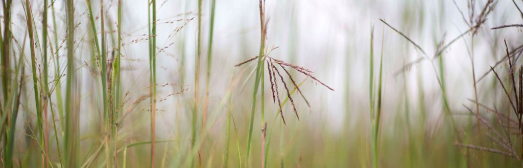 Up-close photo of native grasses.