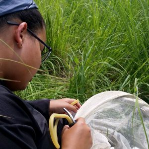 Karina Cortijo-Robles collects insects in a grassy field.