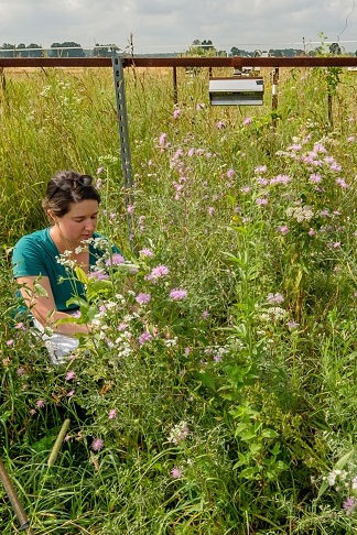 Meredith Zettlemoyer inspects a research plot of native flowers.