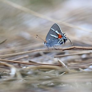 Close-up photo of a Bartram's scrub-hairstreak butterfly.