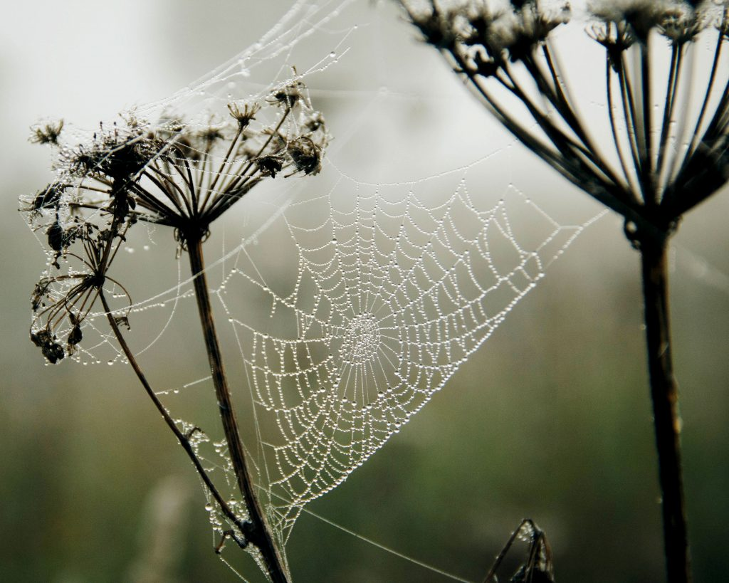 A dew-covered spiderweb stretches between two stalks of spent flower blooms.