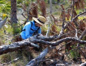Erica Henry crouches in a pine rockland habitat, taking samples.