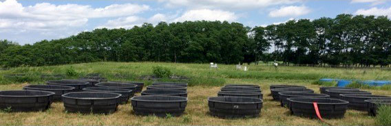 Two dozen shallow black tubs sit in a field, serving as mecocosm environments for an experiment using guppies.