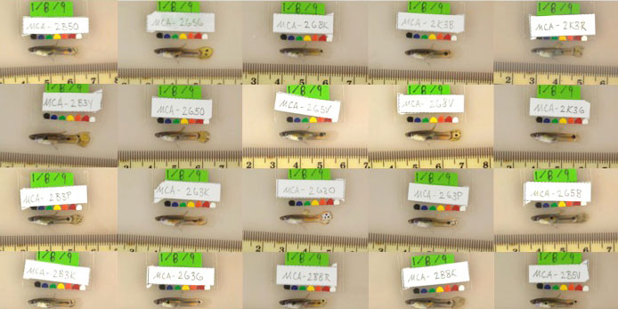 A series of guppies are shown with identification tags and measurements.