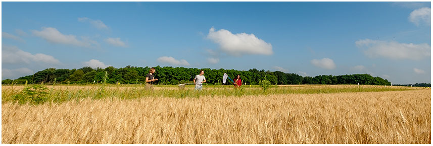 Undergraduate students use nets to catch insects in a prairie strip alongside an agricultural field.