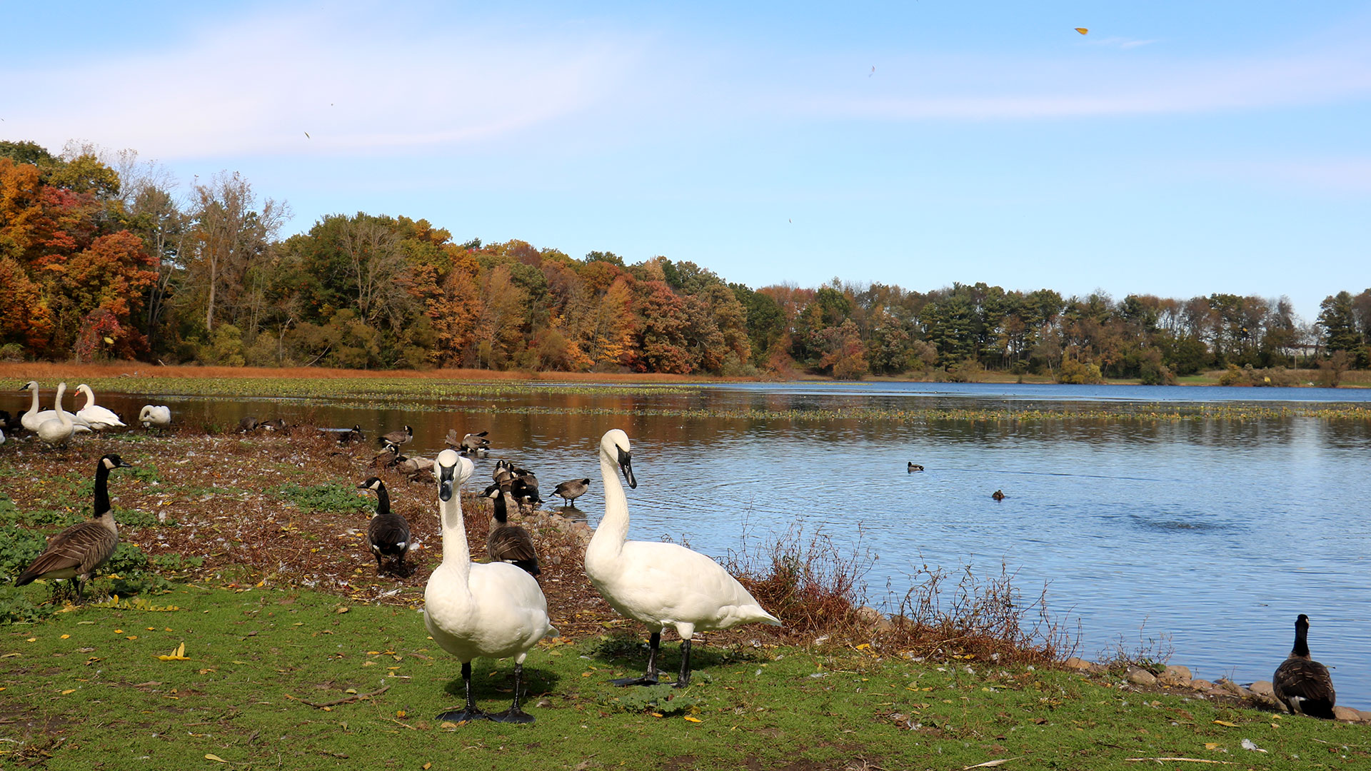 A pair of Trumpeter Swans stand together on the shore of Wintergreen Lake in autumn.