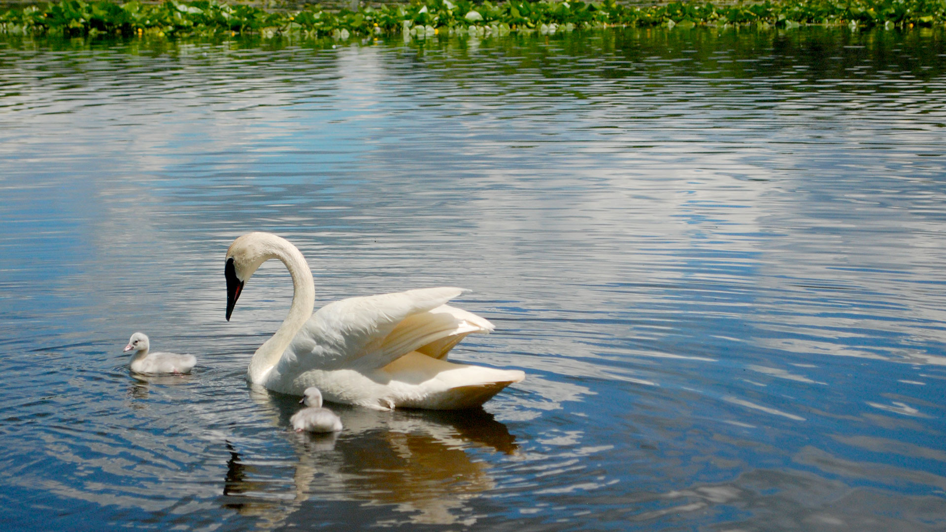 A Trumpeter Swan floats in Wintergreen Lake with cygnets.