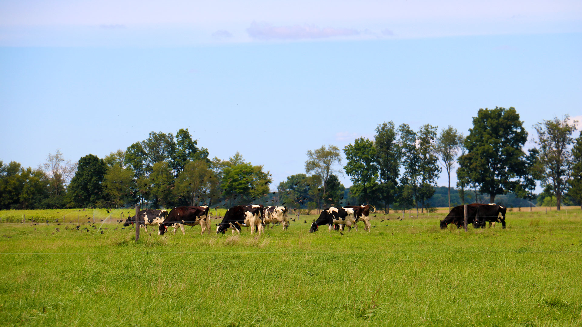 Cows and blackbirds in a pasture at KBS.