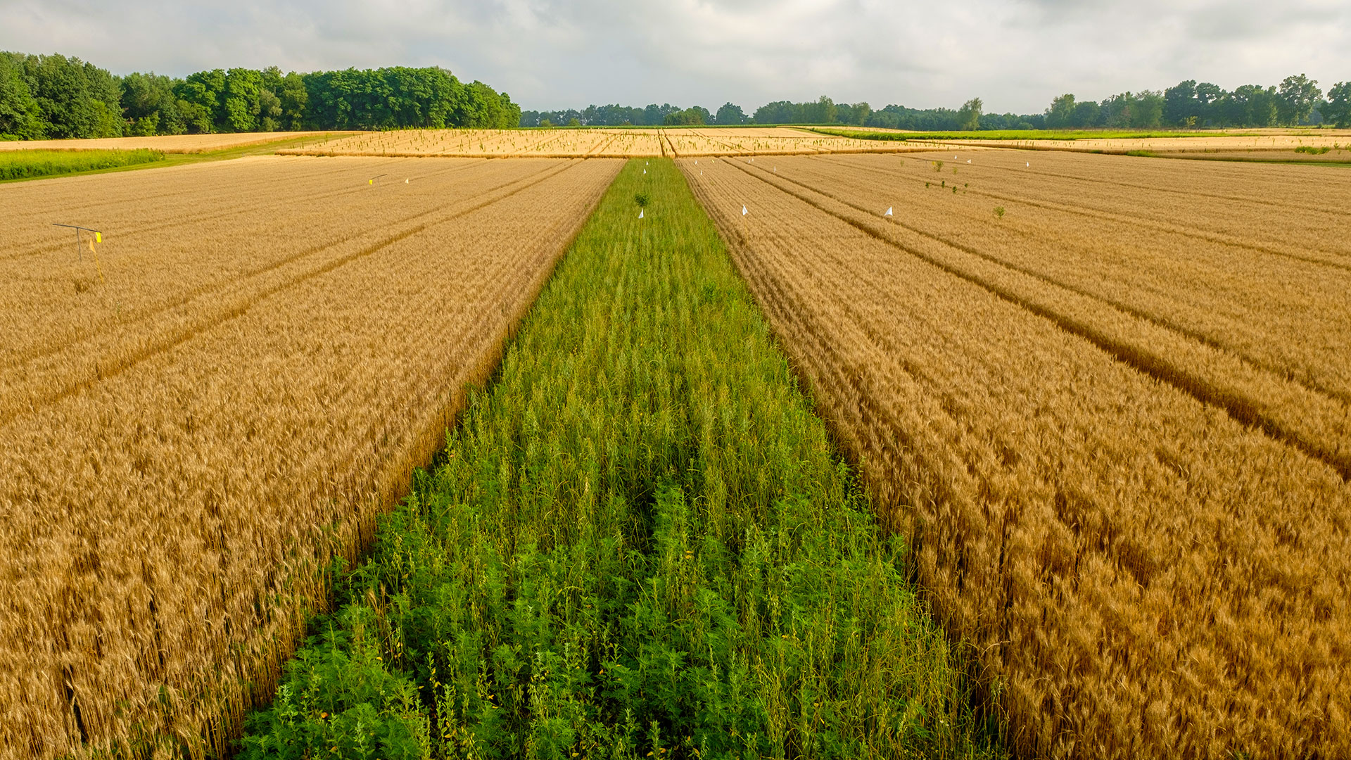 An agricultural field, planted with wheat, featuring a prairie strip running down the center of the photo.