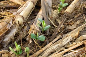 Seedlings emerge from a no-till field.