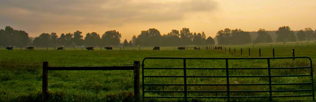A pasture at Kellogg Farm and Pasture Dairy Center on a misty summer morning.