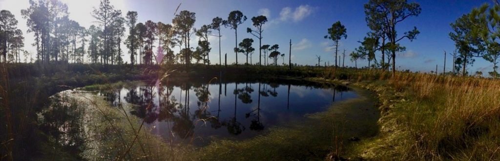 A pond against a background of palm trees at the Archbold Biological Station.