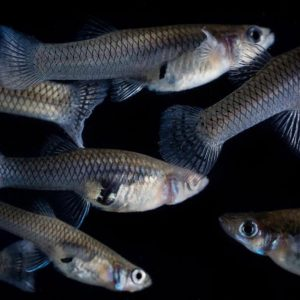 Mosquitofish against a black background.