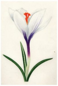 Sketch of a white crocus flower with purple markings, by Olivia Mendoza.