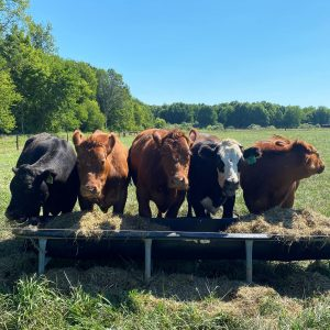 Five cattle stand in a pasture over a feed trough.
