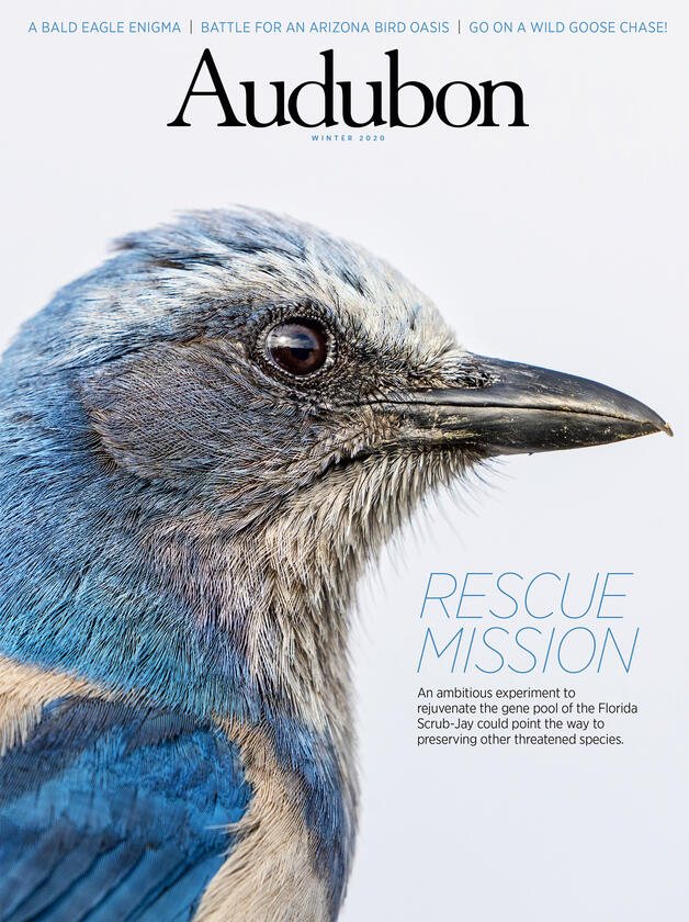 Cover of winter 2020 Audubon Magazine, picturing a close-up profile of a Florida Scrub-Jay, a blue and grey bird.