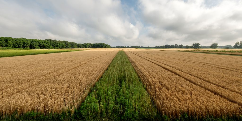 Panoramic view of an agricultural field with a strip of grasses and forbs planted down the center.