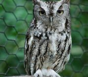 A close-up photo of one of the W.K. Kellogg Bird Sanctuary's ambassador birds: An Eastern Screech Owl