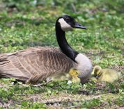 A Canada Goose rests in the grass with two goslings.