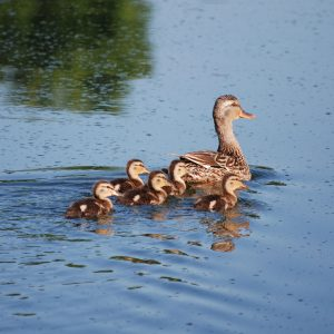 A female Mallard Duck swims through the water, leading the way for five ducklings.